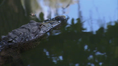 Alligators - stock footage
