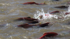 Colorful Spawning Salmon swimming in river Stock Footage