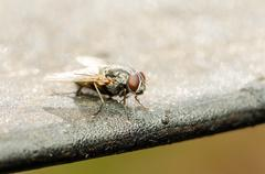 Common Housefly With Red Eyes - stock photo