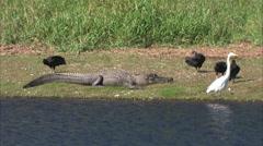Alligators - stock footage