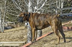Pedigree boxer, family pet Stock Photos
