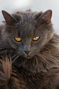 gray cat with attitude - stock photo