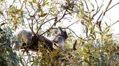 acrobatic koala joey  - stock footage