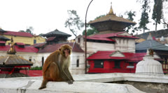 Monkey sitting on wall, pashupatinath temple, kathmandu, nepal Stock Footage
