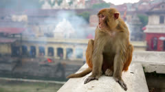 Monkey sitting on wall Stock Footage