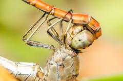 Dragonflies Reproductive System - stock photo