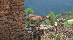 Goats in pasture at Himalayas Mountains, Nepal Stock Footage