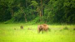 Elephants in chitwan national park, nepal Stock Footage