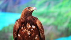 Close-up view of eagle, mongolia Stock Footage