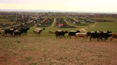 Flock of sheeps moving, Kharkhorin, Mongolia Stock Footage