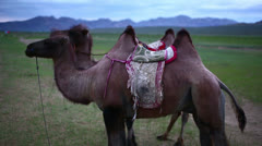 Camel standing in front mountain range - stock footage