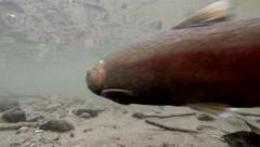 Salmon Spawning Stock Footage