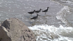 Willets Shorebirds Dig In Sand Along Beach Shoreline 1 Stock Footage