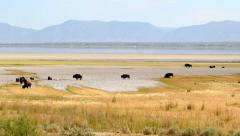 Bison herd antelope island Stock Footage