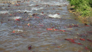 Stock Video Footage of Colorful Spawning Salmon swimming in river
