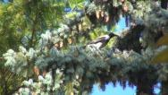 Stock Video Footage of Crow Sitting on a Fir Branch then Fly Away, Raven in Pin Tree, Black Bird
