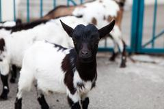 baby goat outdoors - stock photo