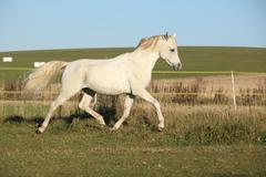 gorgeous arabian horse running on autumn pasturage - stock photo