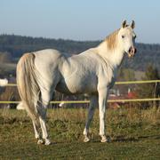 Gorgeous arabian stallion looking at you Stock Photos