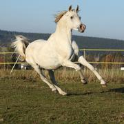 gorgeous arabian horse running on autumn pasturage - stock photo