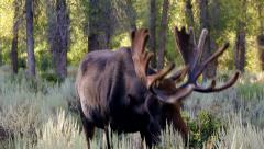 Bull moose grazing Stock Footage