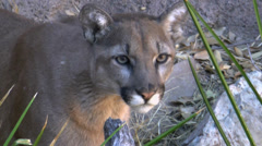 Mountain Lion Close Up Stock Footage