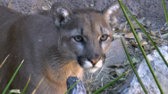 Stock Video Footage of Mountain Lion Close Up