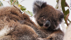 Koala joey close up Stock Footage