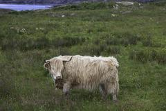 Highland cattle in Northern Scotland - stock photo