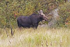 A female Moose in Algonquin, Canada Stock Photos