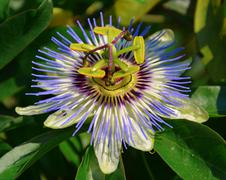 Blue Passion flower - stock photo