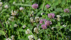 Closeup of dewy white and red clover plants move in wind Stock Footage