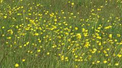 Stock Video Footage of Buttercup (Ranunculus acris) blooming in meadow - full screen