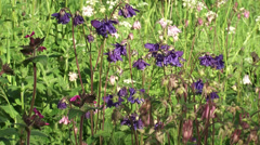 Common Columbine, Aquilegia vulgaris - blue, pink, white + zoom out Stock Footage