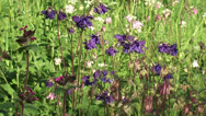 Stock Video Footage of Common Columbine, Aquilegia vulgaris - blue, pink, white + zoom out