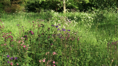 Aquilegia vulgaris,  Common Columbine in meadow + zoom in blue flower heads Stock Footage
