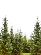 pine tree forest isolated on white - stock photo
