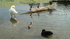 A Swan & Mallard Ducks Stock Footage