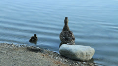 Mother & Baby Duck Stock Footage