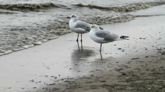 Seagulls by the water Stock Footage
