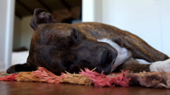 Stock Video Footage of Sleeping Dog on a Rug