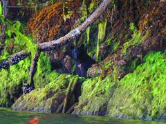 Peek a Boo Black Bear on the Shoreline Stock Photos