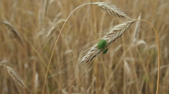 stink bugs on a wheat spike - stock footage