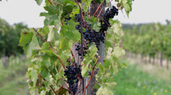Pan shot of vine rows full of grapes on sunny day Stock Footage
