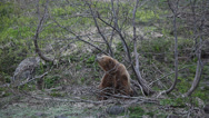 Stock Video Footage of Brown bear. Courtship. Marking.