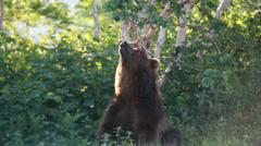 Brown bear. Courtship. Marking. Stock Footage