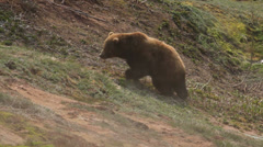 Grizzly bears Stock Footage