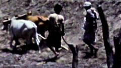 Aden boys plowing field behind cattle vintage film HD D002 Stock Footage