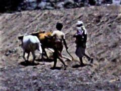 Aden boys plowing field behind cattle vintage film SD D002 Stock Footage