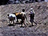 Stock Video Footage of Aden boys plowing field behind cattle vintage film SD D002